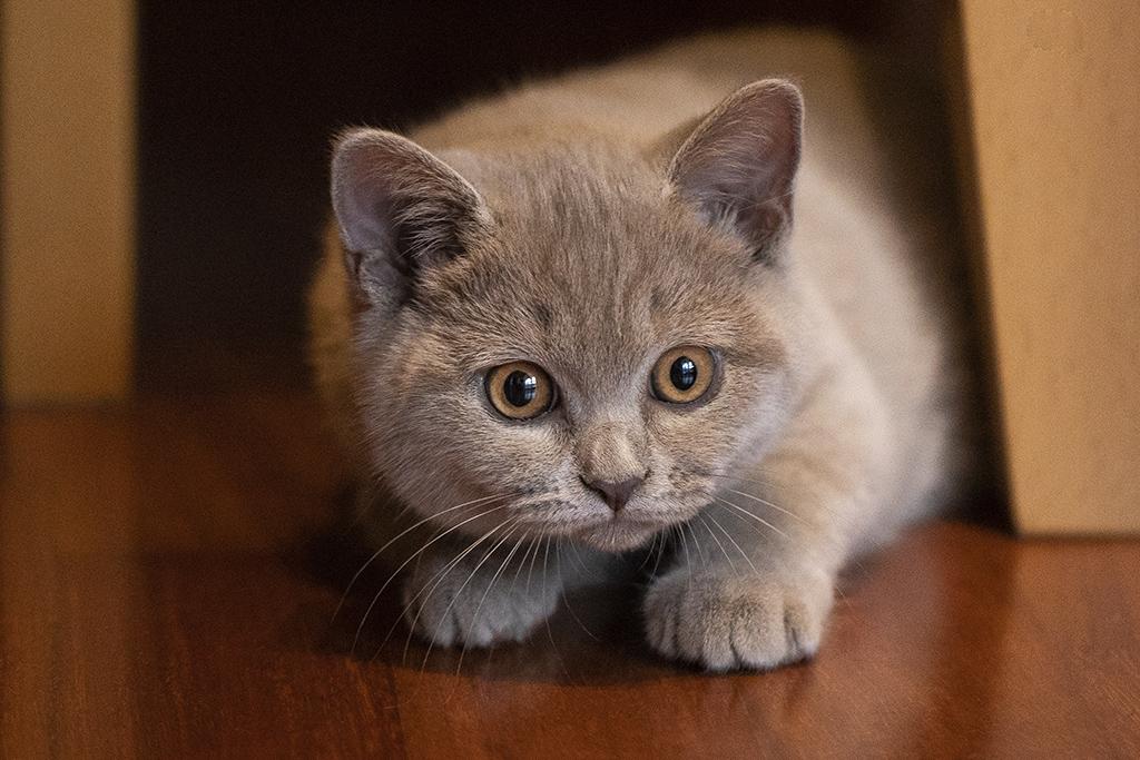 fotografo gatto como